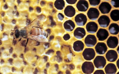 """Better"" Bees or Better Monitoring?"
